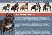 Photo of The 5 American Bully Classes