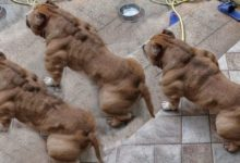 Photo of What Is the Best Dog Food for Your American Bully?