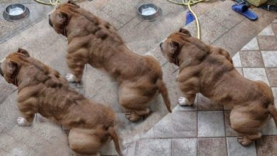 best dog food for american bully puppies