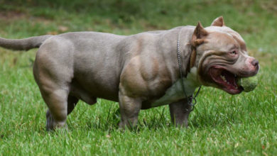 top reasons to own an american bully