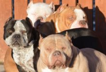 best ear crop for american bully