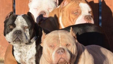 Photo of American Bully Ear Cropping Facts