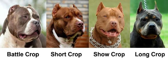 american bully ear crop