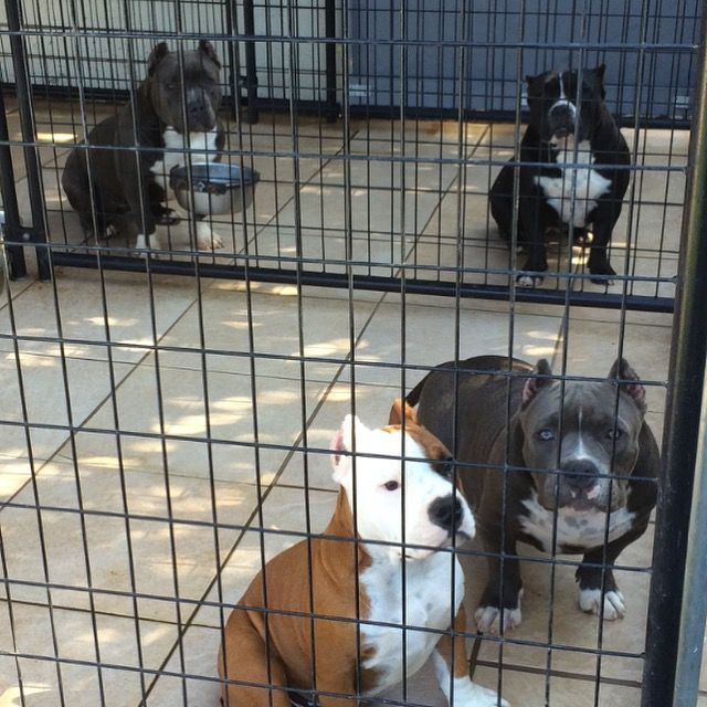 starting an american bully dog kennel