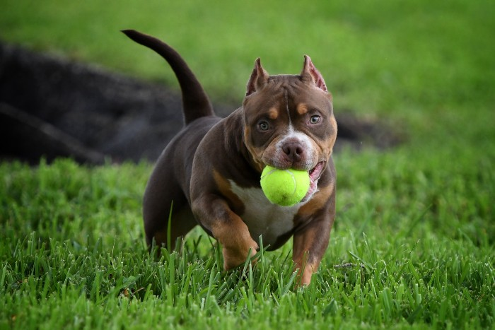chocolate tri color american bully