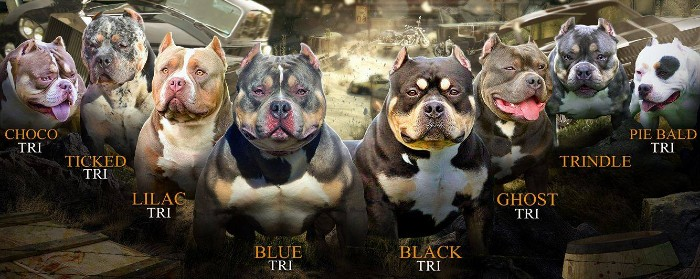 american bully tri color chart