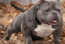 Photo of History Of The American Pit Bull Terrier & The Evolution Of The American Bully