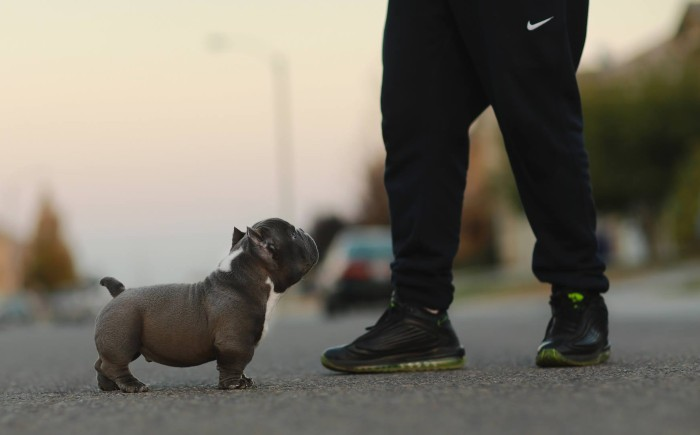 Over 1000 Names For American Bullies