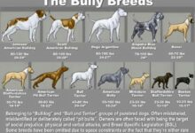Photo of Bully Breeds – Sweet Not Dangerous