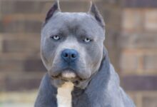 Photo of Most Interesting Facts About The Blue Nose Pit Bull